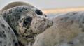 В Казахстане спасают находящуюся на грани исчезновения каспийскую нерпу
